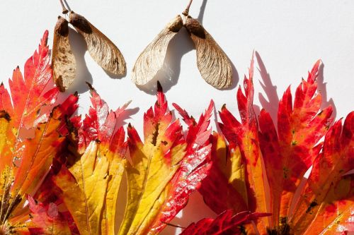 japanese maple maple leaves leaves
