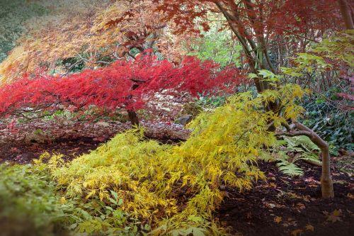 japanese maple acer japonicum do bergs fan-maple