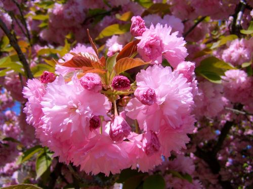 japanese ornamental cherry pink-flowered spring