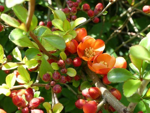 japonų dekoratyvinės auksinės,dekoratyvinis krūmas,gėlės,budas,krūmas,pavasaris