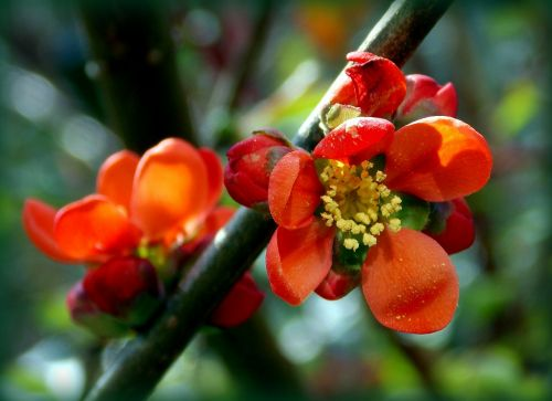 japanese ornamental quince ornamental quince rose greenhouse