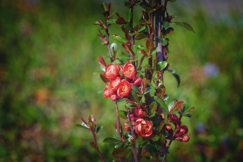 japanese ornamental quince  bill quince  roses
