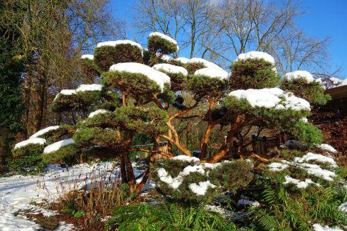 japanese pine pine tree snow