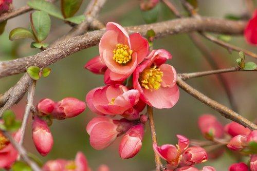 japanese quince  flower  shrub
