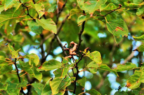 japanese raisin tree raisin tree tree