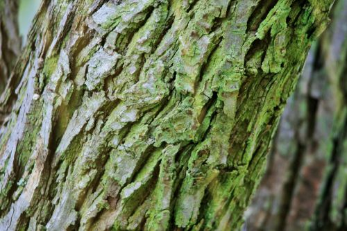 Japanese Raisin Tree Bark