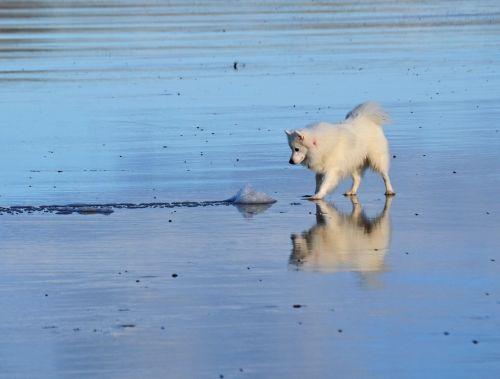 japanese spitz dog white