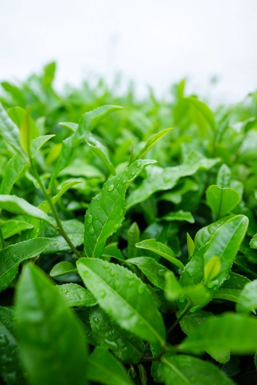 japonų arbata, Sayama arbata, Japonija, Matcha žalioji arbata, žalias, natūralus, arbata, saitama prefektūra, lapai