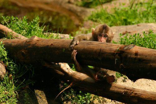 japanmakake baby monkey makake