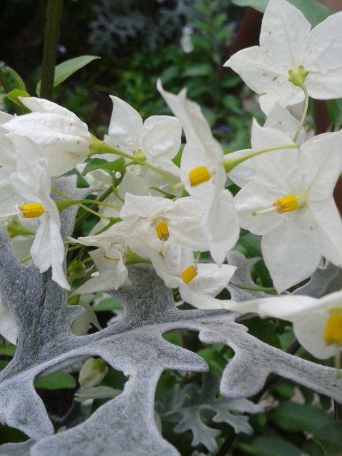 jasmin ragwort blossom