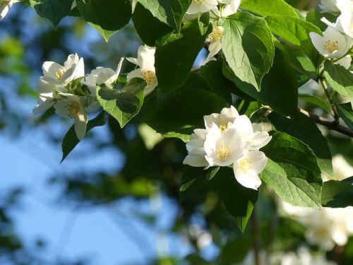 jazmin,jazminų gėlė,augalas,gėlės,balta,kvapas,gėlė,gamta