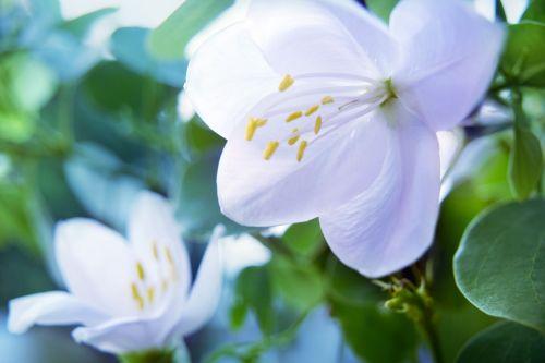 jasmin white flower