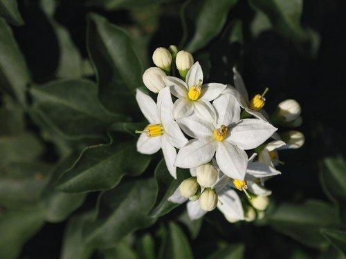 jasmin  flowers  white