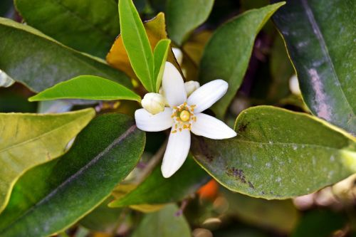 jazminas,gėlė,balta,žiedlapiai,gėlės,sodas,Grynumas,pavasaris,augalas,žalias,subtilus,grožis,gražus,gamta,žydėjimas,Indijos jazminas,pistil,jasminum multiflorum
