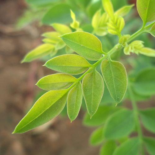 jazminas,lapai,augalas