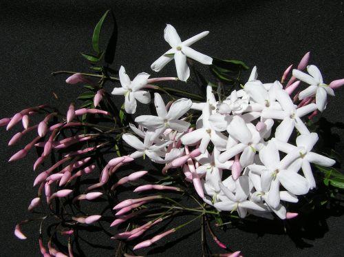 jasmine white aroma