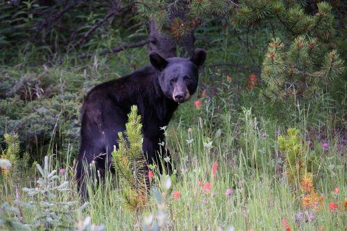 jasper jasper national park black bear