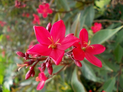 jatropha flower exotic