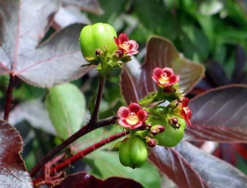 jatropha gossypiifolia bellyache bush cotton-leaf physic nut
