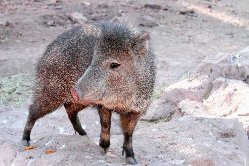 javelina  arizona  pig