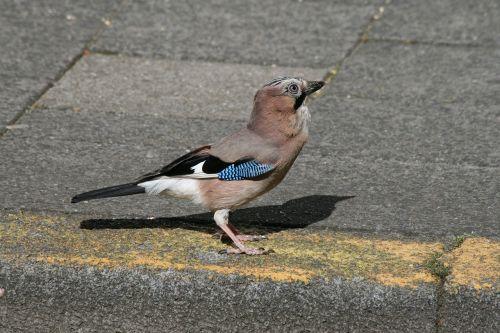 jay bird pavement