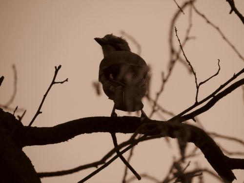 jay garrulus glandarius songbird