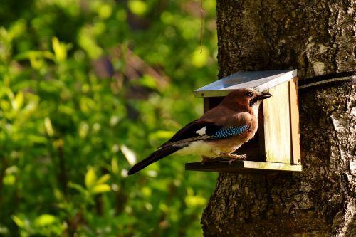 jay,paukštis,spalvinga,maitinimas,maistas,badas,gamta,plunksna,varnas paukštis,sodas,gyvūnas,maitinimas,graži,paukščių maitinimas,naminiai paukščiai