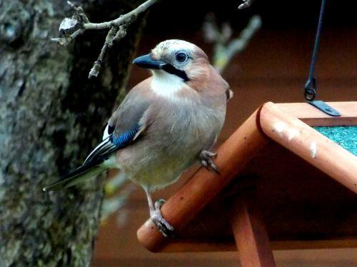 jay bird songbird