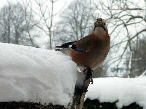 jay songbird perching birds
