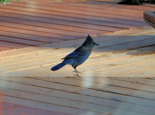 jay bird wildlife