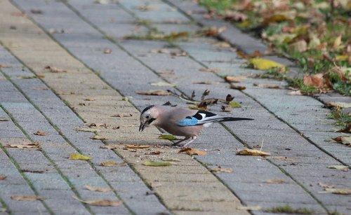 jay  bird  animal
