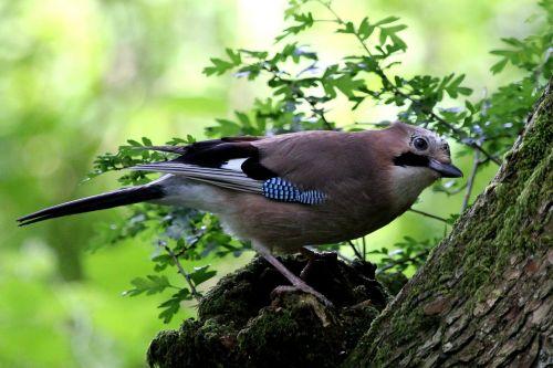 jay bird woodland