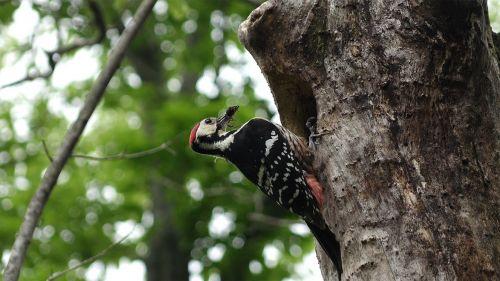 jeju island jeju special self-governing province the new symbol white-backed woodpecker