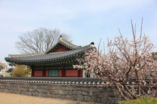 jeju island,kwan duck jung,korea,traditional,hanok,cherry blossom,spring,flowers