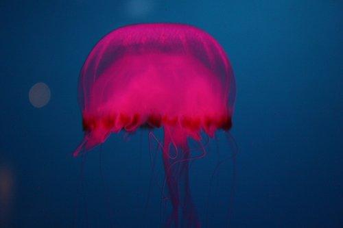 jelly fish  ocean  pink