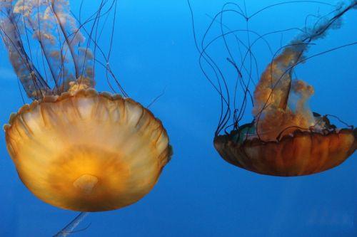jelly fish orange tentacles