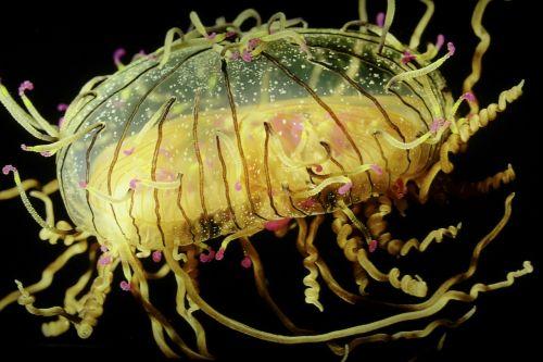 jellyfish luminous underwater
