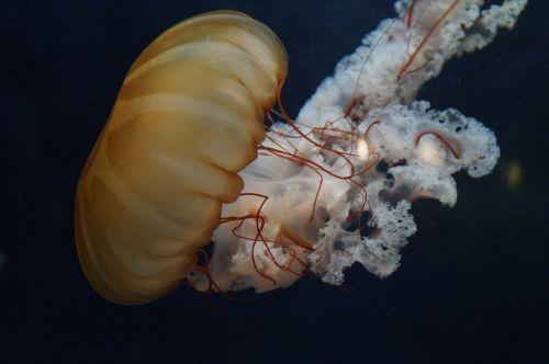 jellyfish mollusk fluorescent