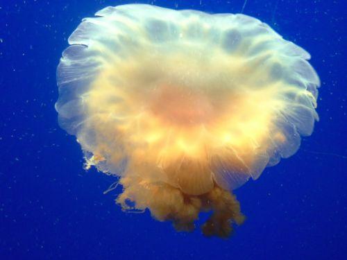 jellyfish underwater aquarium