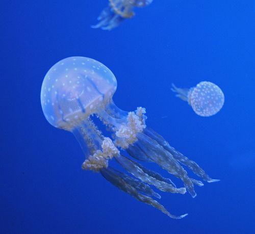 jellyfish ocean aquatic life