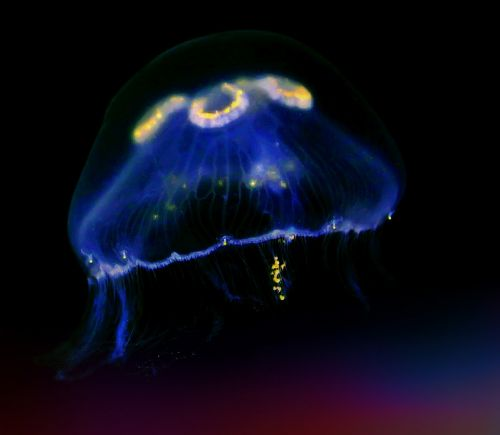 jellyfish sea animal underwater