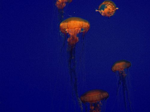 jellyfish jellies blue