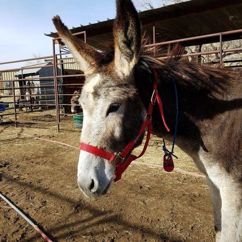 jenny burro donkey