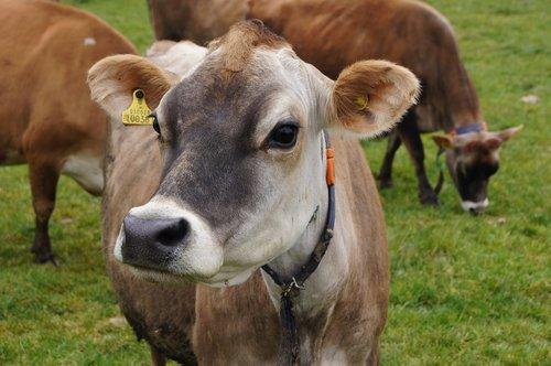 jersey cow  jersey-cow  jersey-race