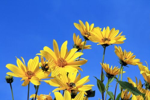 jerusalem artichoke yellow flower blue sky