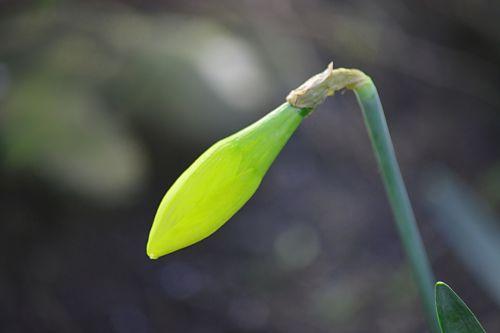 Young Daffodil