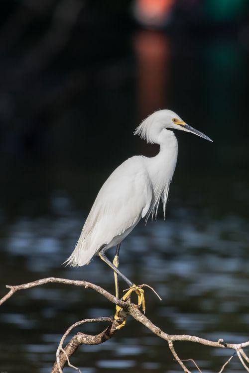 jewelry-breasted heron bird