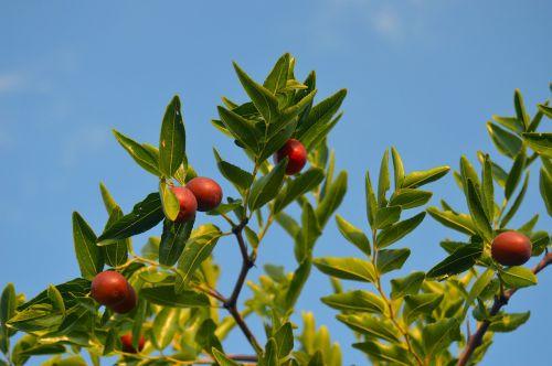 jínjoles the fruit of autumn fruit sweet