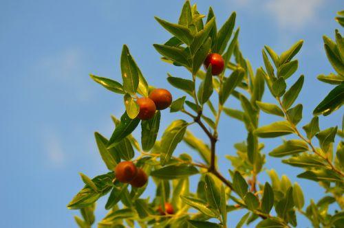 jínjoles autumn fruit fruit tree
