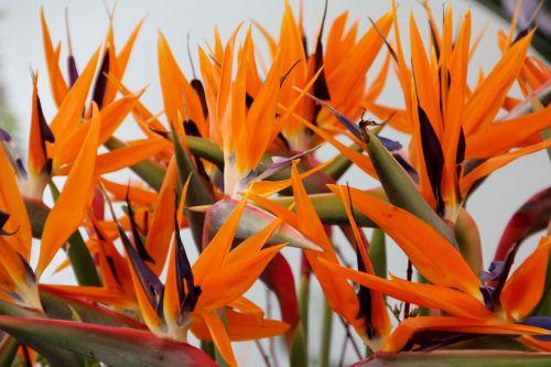joel paradise flower bird of paradise flower